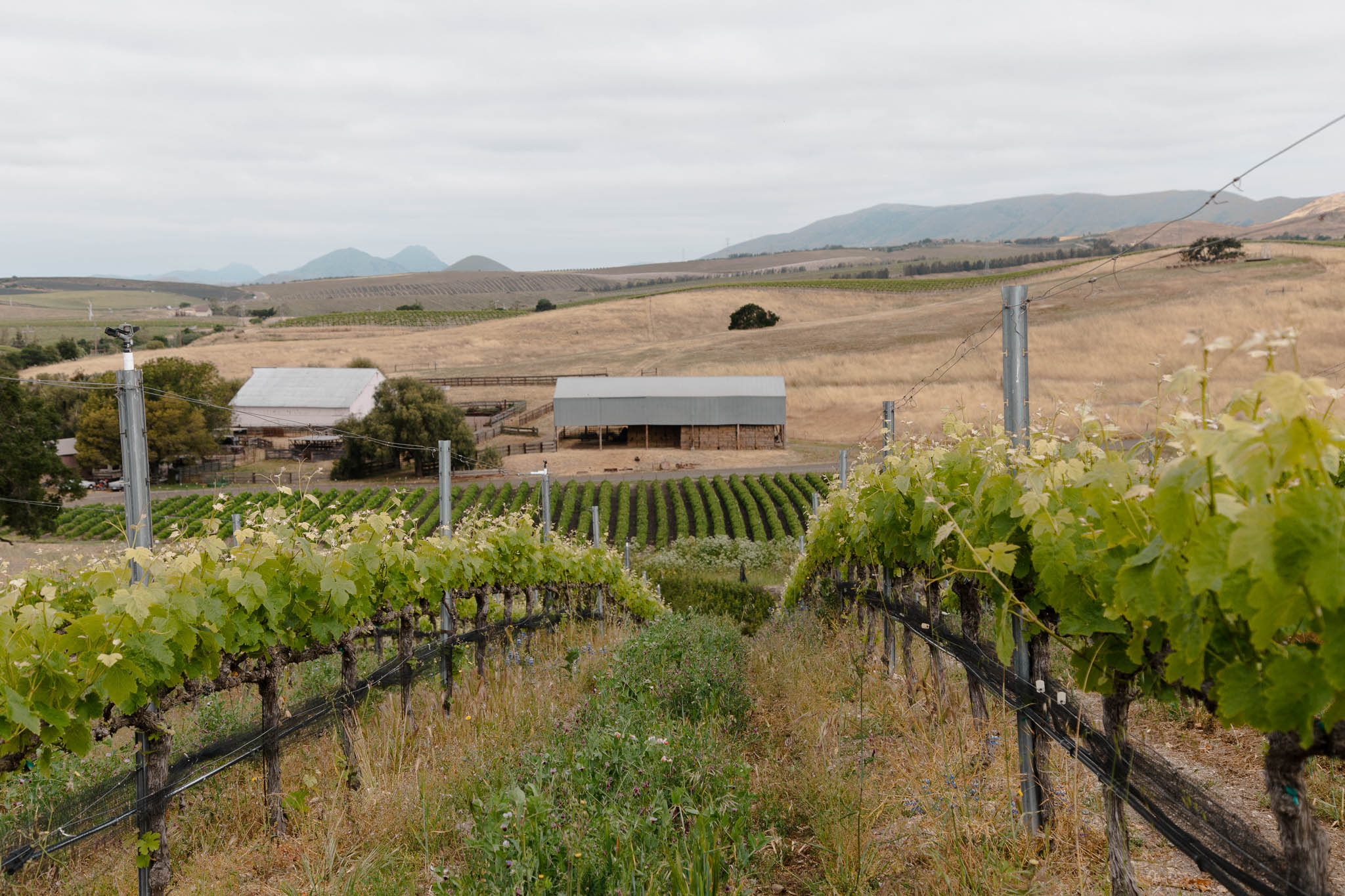 Photography of Cool Climate Morning in San Luis Obispo Wine Country Vineyards
