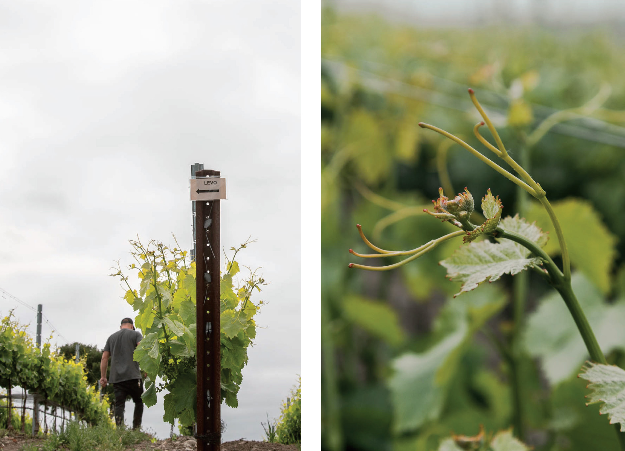 Vineyard Photography for Levo Wine in Santa Barbara County, California