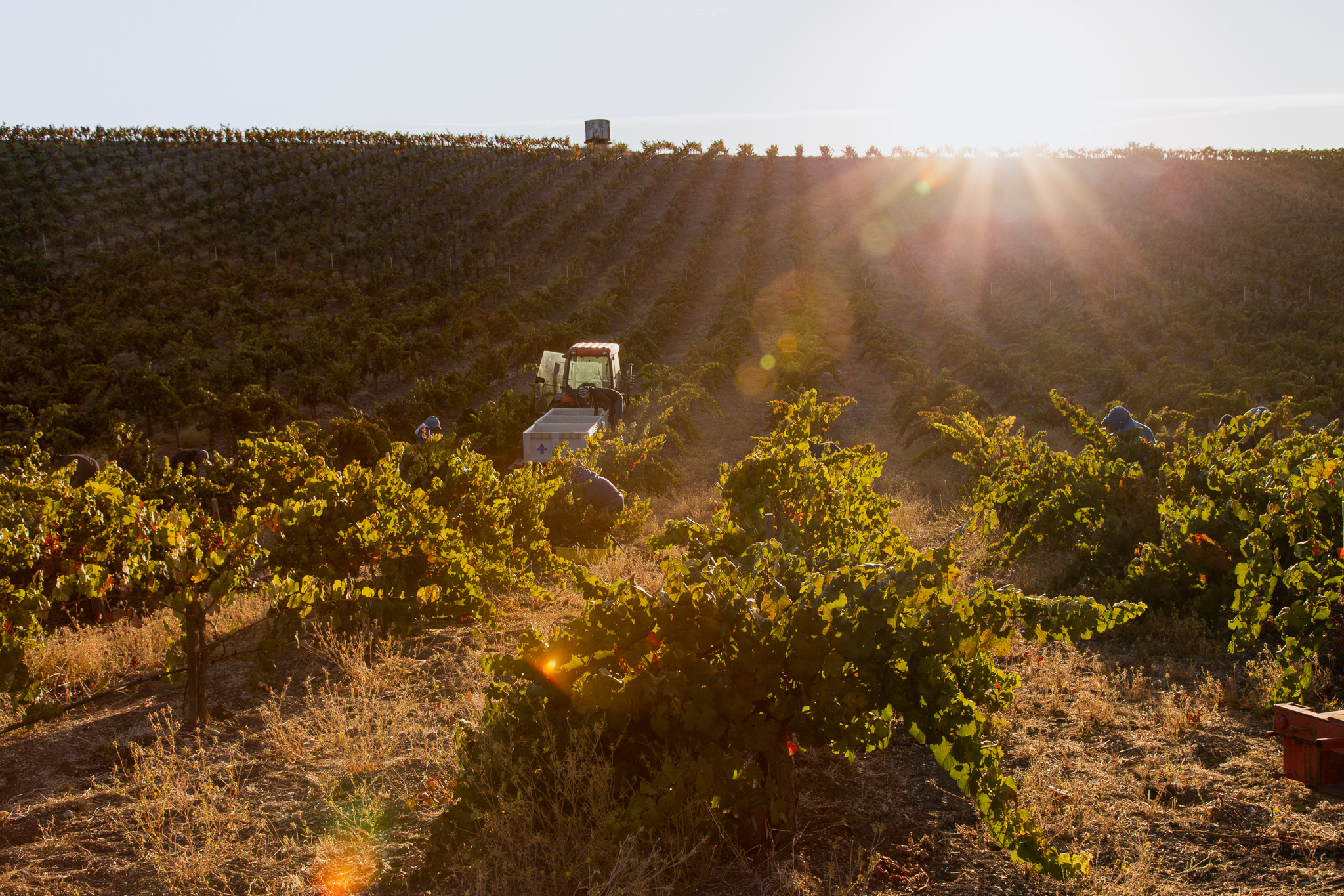 Paso Robles Wine Harvest Photography by Amarie Design Co.