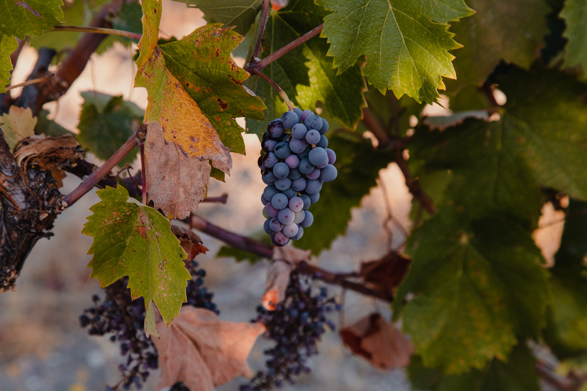 Wine Harvest Photography on the Central Coast, California by Amarie Design Co.
