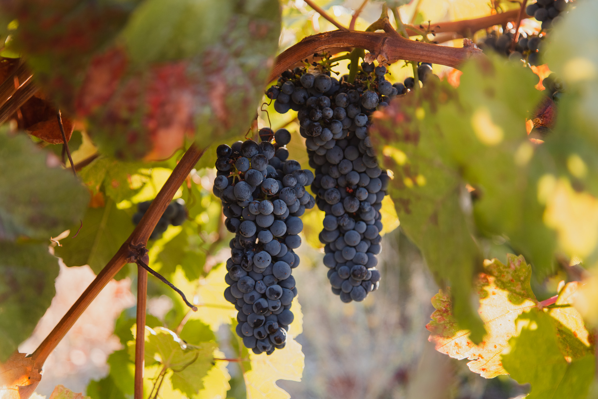Close Up Photography of Wine Grape Cluster Captured During Wine Harvest in Paso Robles, California