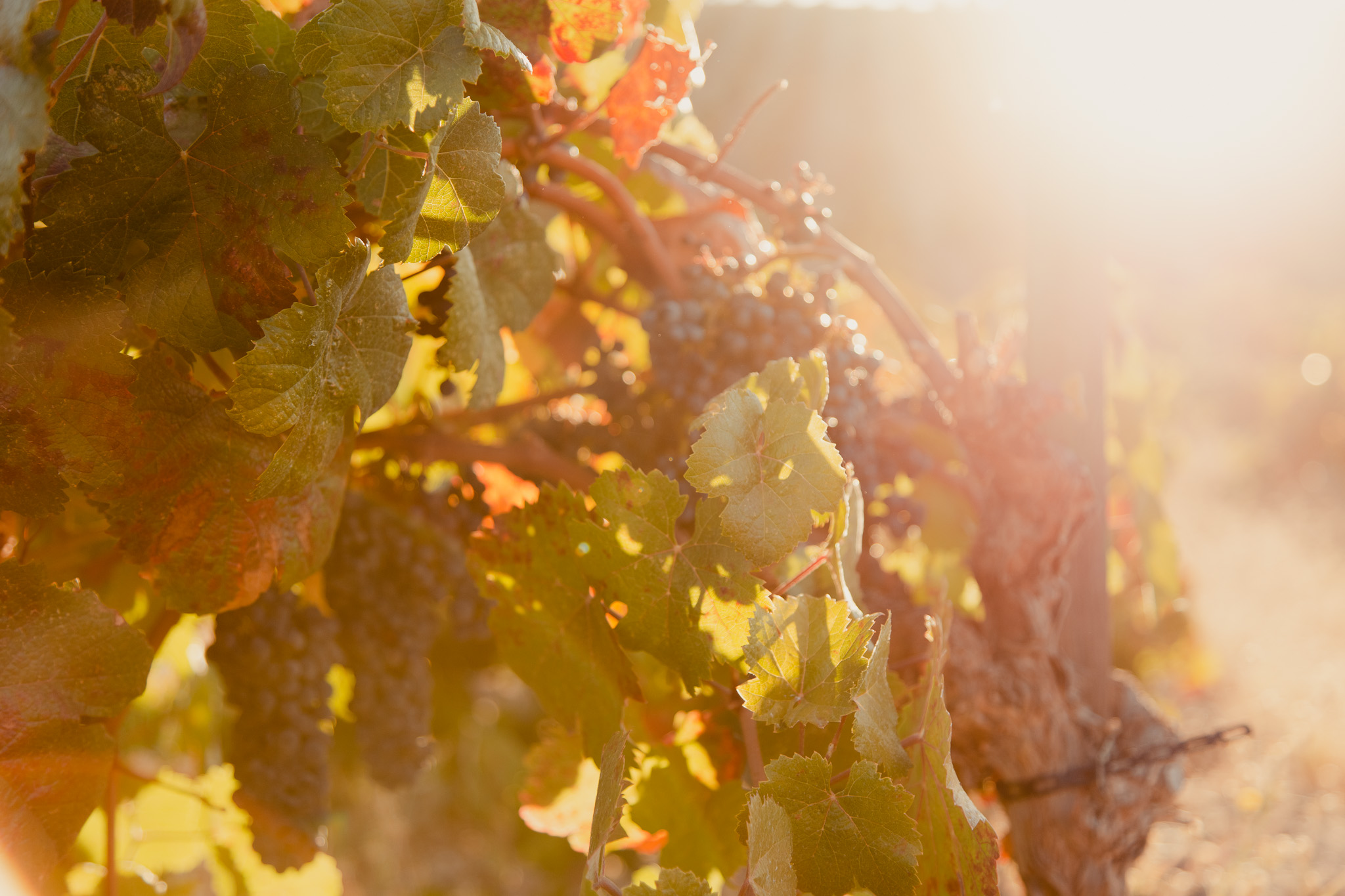 Paso Robles, California Wine Harvest Photography of Sunflare and Golden Light on Vineyards
