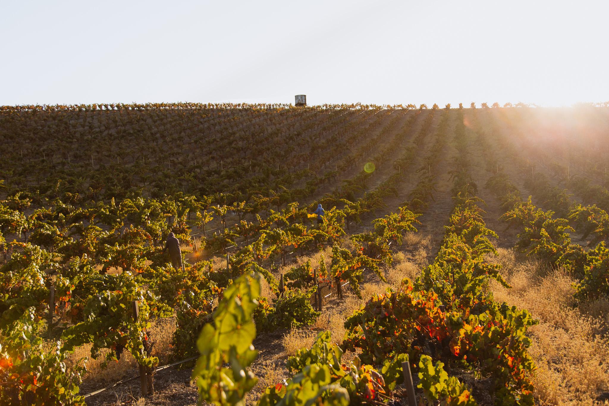 Wine Harvest Photography of Vineyard Hillside with Golden Morning Light