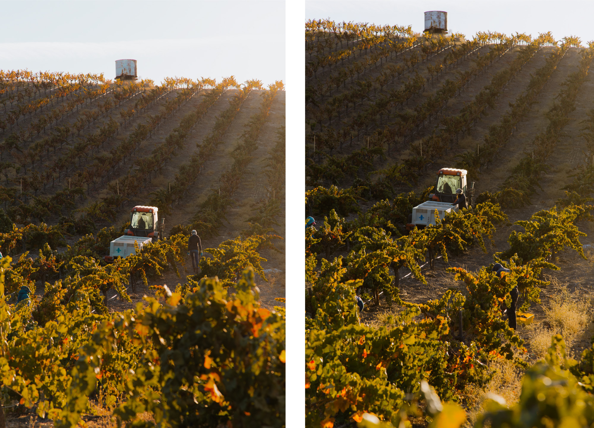 Wine Harvest Photography of Seven Oxen Estate Wines' Crew During Morning Pick at Estate Vineyard in Paso Robles, California