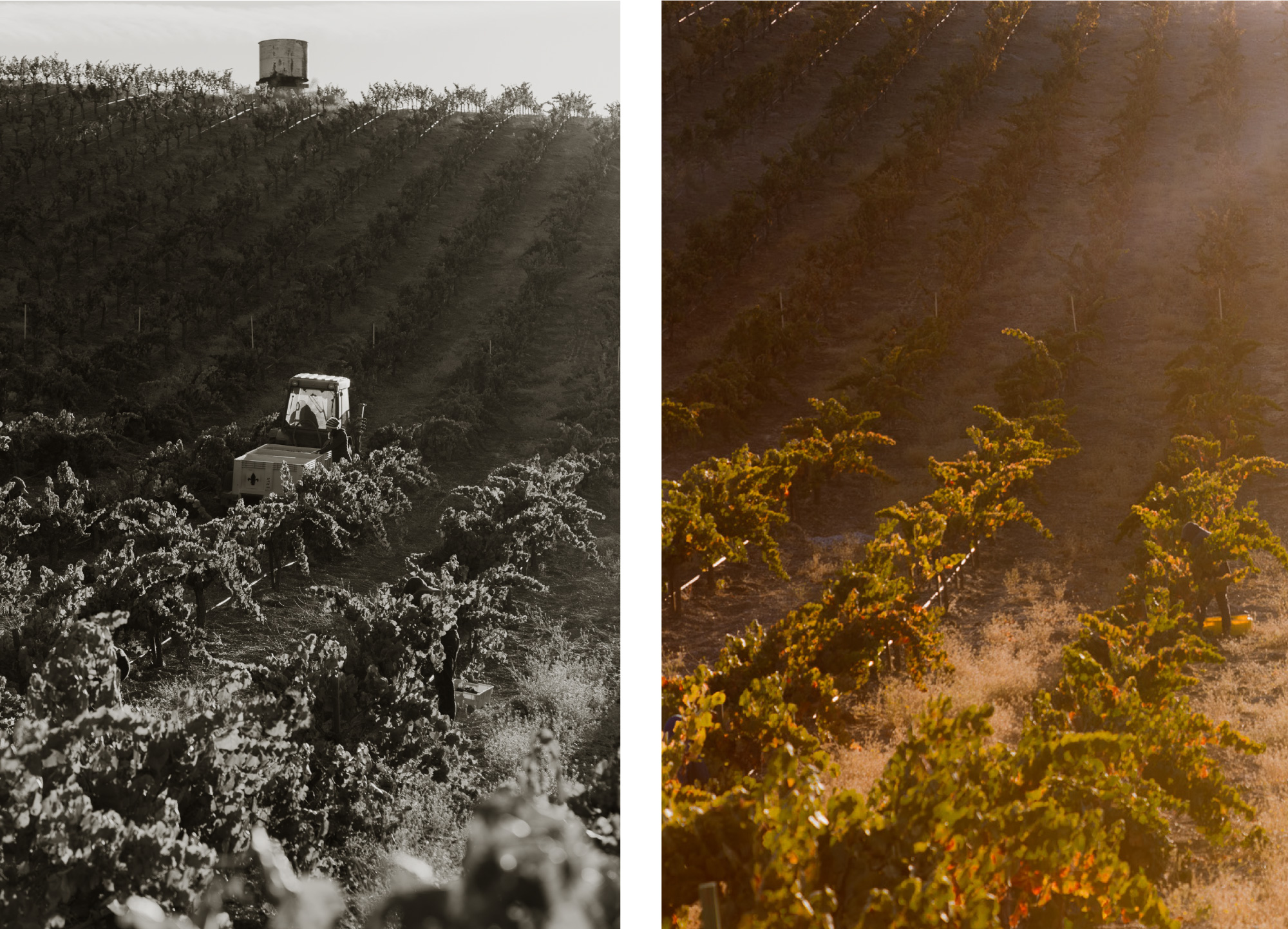 Wine Harvest Photography for Paso Robles Boutique Winery Seven Oxen Estate Wines